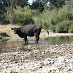 Cow defecating into a river